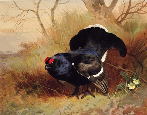 Un Blackcock dans un boisé de compensation, aquarelle de Archibald Thorburn (1860-1935, United Kingdom)