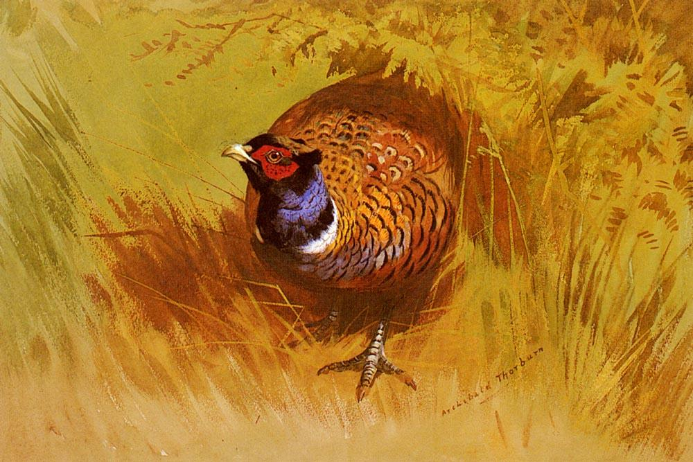 A Cock Pheasant, aquarelle de Archibald Thorburn (1860-1935, United Kingdom)