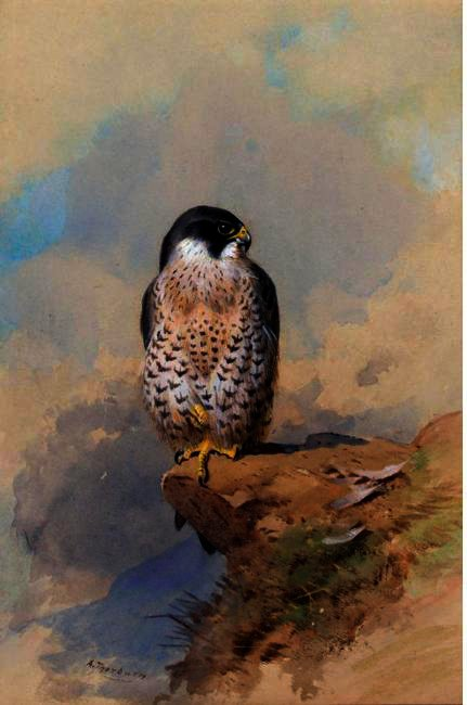 Un faucon pèlerin, aquarelle de Archibald Thorburn (1860-1935, United Kingdom)