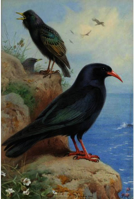 A Rock And A Starling Chough commune, aquarelle de Archibald Thorburn (1860-1935, United Kingdom)