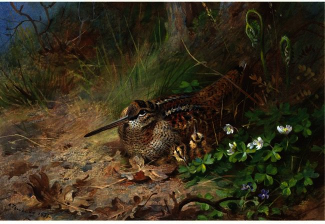 a `woodcock` et son jeunes, aquarelle de Archibald Thorburn (1860-1935, United Kingdom)