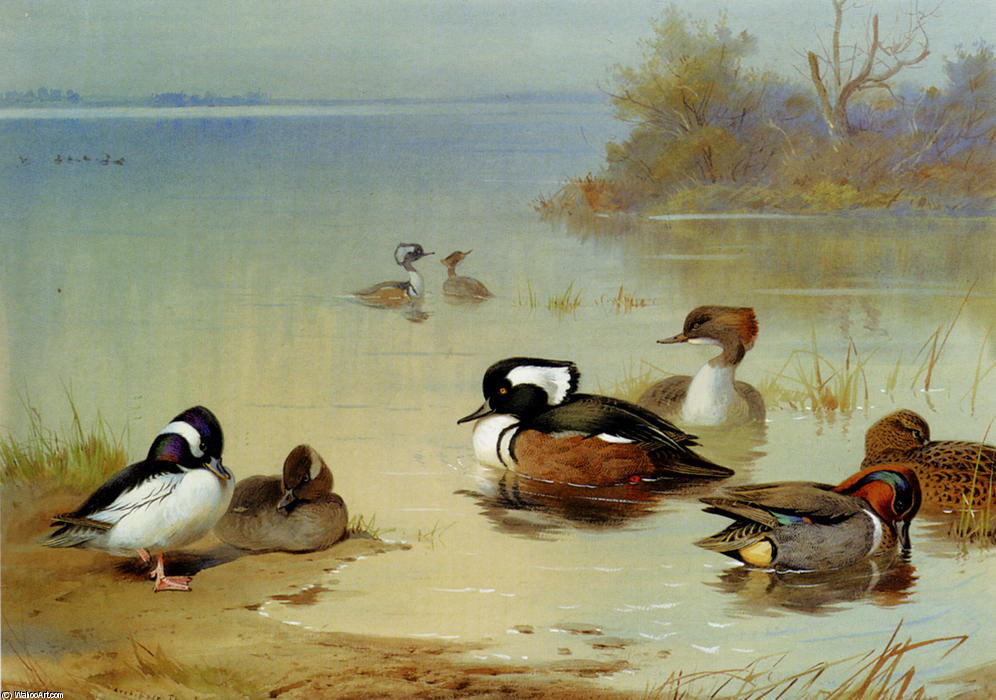 Buffel-Headed Canard , , Américaine Green-Winged Sarcelle et harle, aquarelle de Archibald Thorburn (1860-1935, United Kingdom)