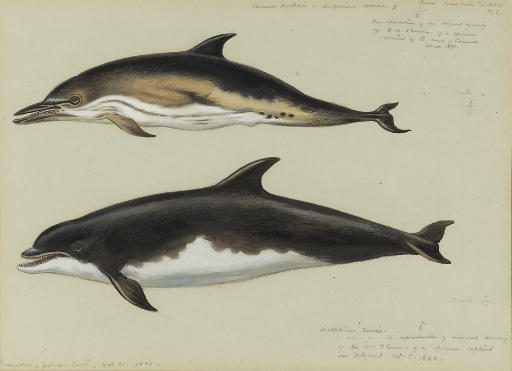 commune dauphin et `bottlenose` dauphin, aquarelle de Archibald Thorburn (1860-1935, United Kingdom)