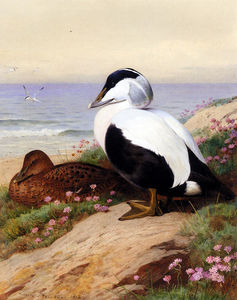 Archibald Thorburn - Eiders communs