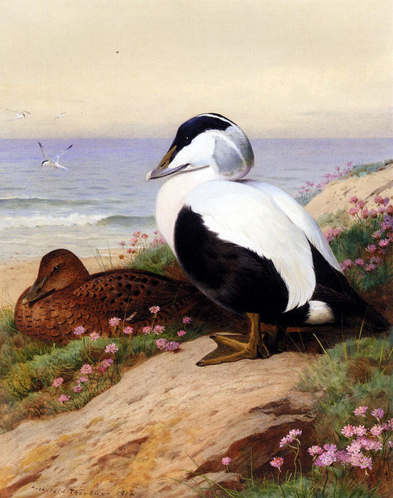 Eiders communs, aquarelle de Archibald Thorburn (1860-1935, United Kingdom)