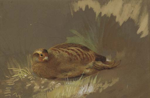 Dépoussiérage Partridge 1, aquarelle de Archibald Thorburn (1860-1935, United Kingdom)