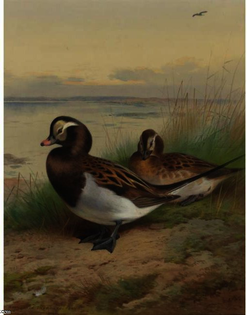longue queue canard  été , aquarelle de Archibald Thorburn (1860-1935, United Kingdom)