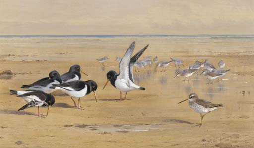 Oyster Catchers, Chevalier gambette Et Dunlin, aquarelle de Archibald Thorburn (1860-1935, United Kingdom)