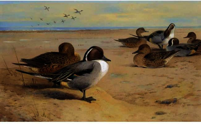 Canards pilet, aquarelle de Archibald Thorburn (1860-1935, United Kingdom)