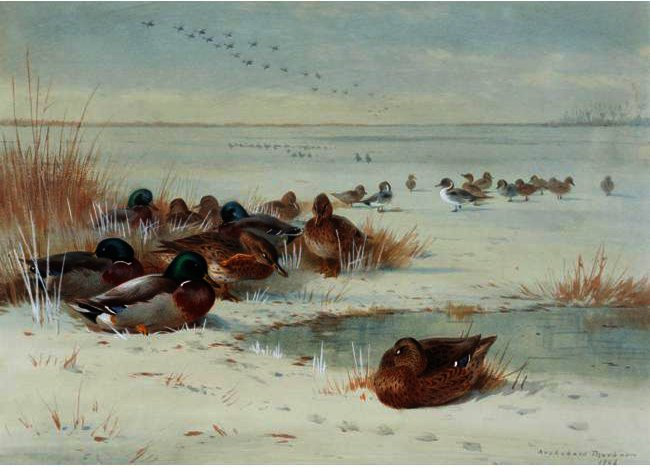 The Frozen Fen - Mallard Et Pintail, aquarelle de Archibald Thorburn (1860-1935, United Kingdom)