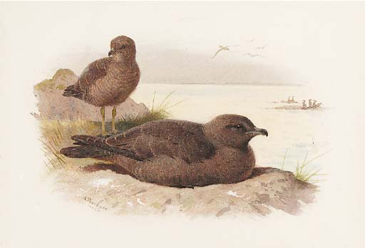 Twisted-queue Skua Lestris Pomarinus, aquarelle de Archibald Thorburn (1860-1935, United Kingdom)