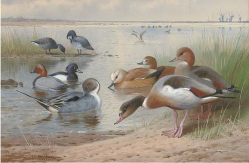 Wildfowl. Pintail, Pochard, Fuligule, Tadorne casarca, Widgeon Et la Bernache cravant, aquarelle de Archibald Thorburn (1860-1935, United Kingdom)