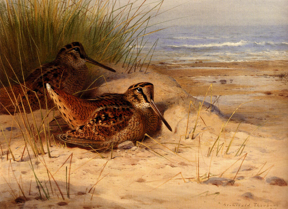 Woodcock Nesting sur une plage, aquarelle de Archibald Thorburn (1860-1935, United Kingdom)