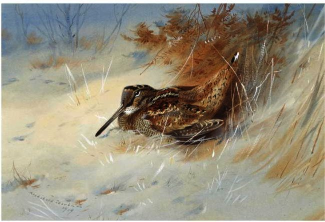 Woodcock refuge dans la neige, aquarelle de Archibald Thorburn (1860-1935, United Kingdom)