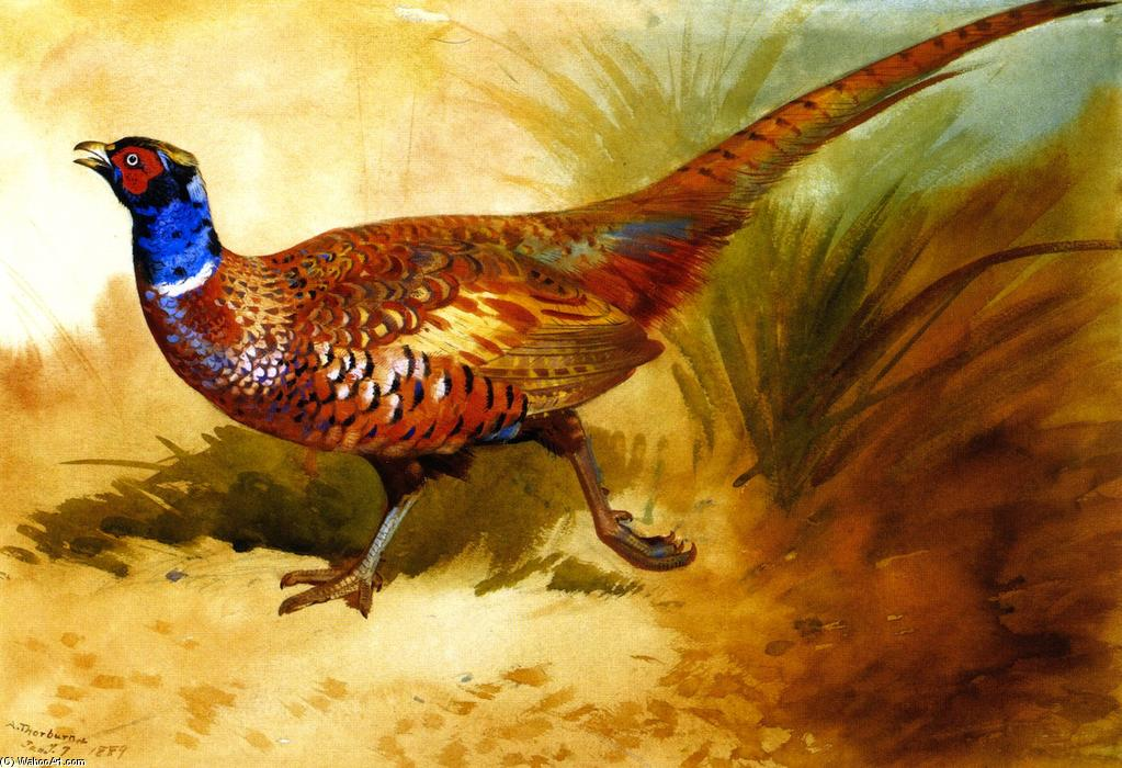 Cock Pheasant, aquarelle de Archibald Thorburn (1860-1935, United Kingdom)